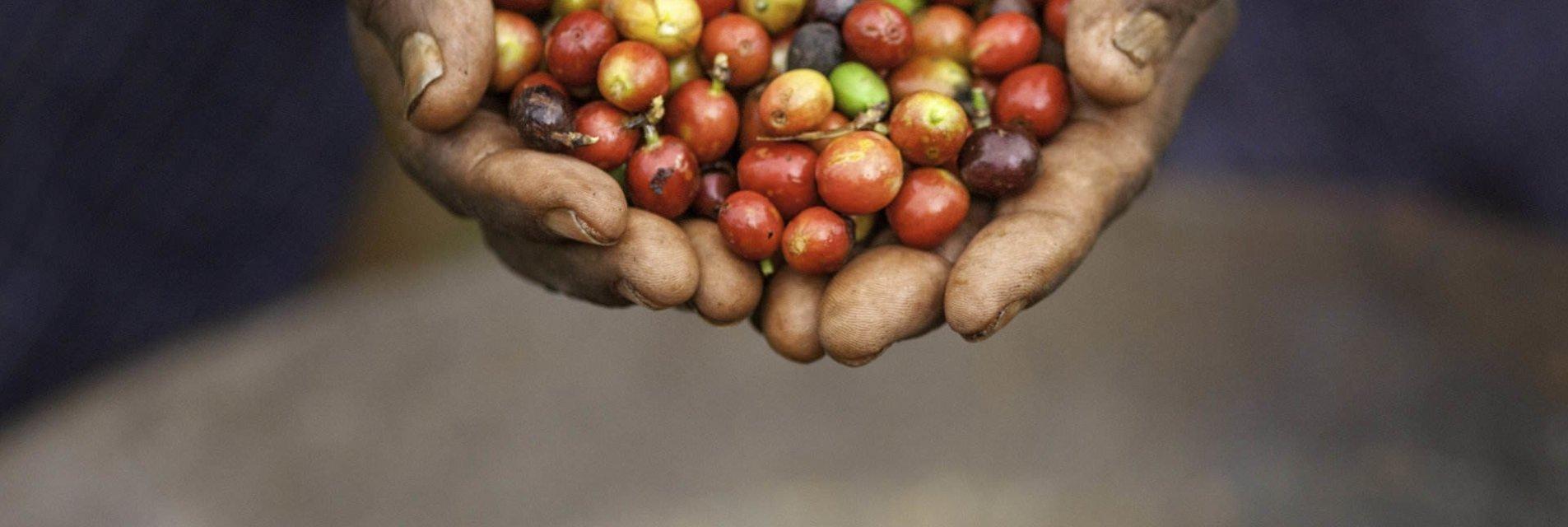 La qualità dei chicchi di caffè Brasilmoka (Arabica, Robusta)